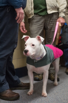 White pit bull dog standing, on a leash, with dog blanket of khaki and pink.