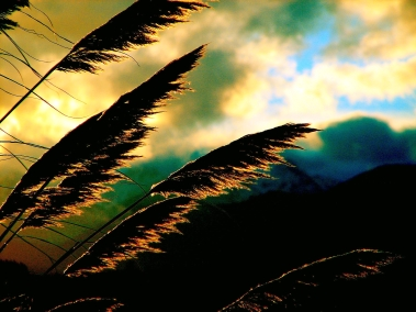 plumes of tall grass against a gold and blue evening sky
